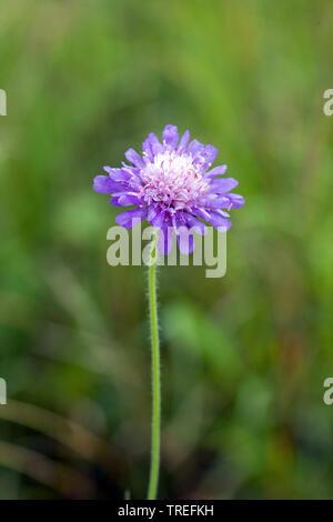 Acker-Knautie, Ackerknautie, Acker-Witwenblume, Ackerwitwenblume (Knautia arvensis), bluehend, Deutschland | blue button, field scabious (Knautia arve - Stock Photo