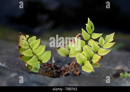 Japanese Holly Farn (Cyrtomium falcatum, Polysticum falcatum), in a wall, Netherlands - Stock Photo