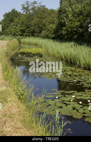 white water-lily, white pond lily (Nymphaea alba), Ditch in Kromme Rade, Netherlands - Stock Photo