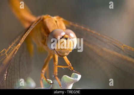 Broad Scarlet, Common Scarlet-darter, Scarlet Darter, Scarlet Dragonfly (Crocothemis erythraea, Croccothemis erythraea), female on a stem, Spain - Stock Photo