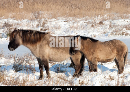 Konik horse (Equus przewalskii f. caballus), mare with foal in snowy landscape, side view, Netherlands, South Holland, Wassenaar - Stock Photo