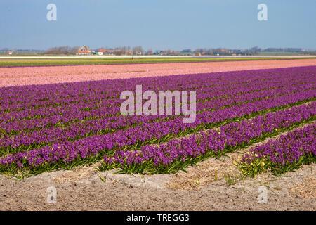 Jacinthe (Hyacinthus orientalis), Jacinthe field on Texel, Netherlands, Texel - Stock Photo