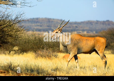 Common eland, Southern Eland (Taurotragus oryx, Tragelaphus oryx), male in savanna, South Africa, Kimberley - Stock Photo