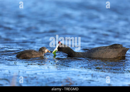 Red-knobbed coot (Fulica cristata), male feeding juvenile, South Africa, Western Cape, Wilderness National Park - Stock Photo