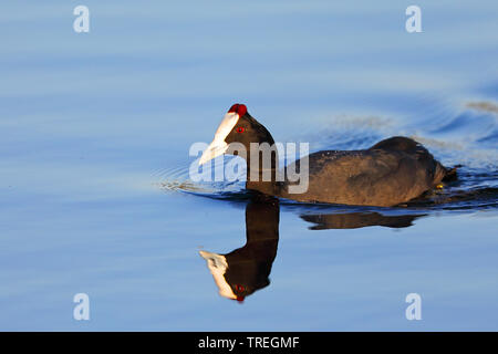 Red-knobbed coot (Fulica cristata), male swimming, South Africa, Western Cape, Wilderness National Park - Stock Photo
