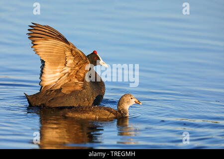 Red-knobbed coot (Fulica cristata), male on water flapping wings, juvenile beside, South Africa, Western Cape, Wilderness National Park - Stock Photo