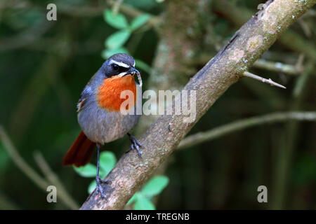 Cape robin chat (Cossypha caffra), sitting on a bush with caterpillart in the beak, South Africa, Eastern Cape, Addo Elephant National Park - Stock Photo