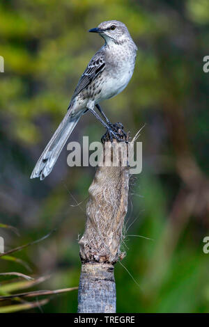 Bahama Mockingbird (Mimus gundlachii), perched on a branch, The Bahamas - Stock Photo