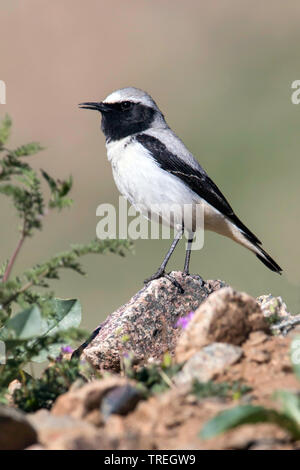 Seebohms Tapuit, Seebohm's Wheatear, Oenanthe seebohmi (Oenanthe seebohmi, Oenanthe oenanthe seebohmi), singing from a rocky perch, Morocco - Stock Photo