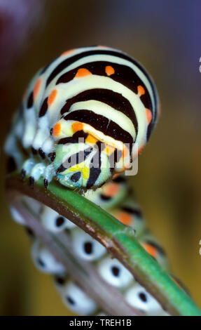 Schwalbenschwanz (Papilio machaon), Raupe, Portraet, Deutschland | swallowtail (Papilio machaon), caterpillar, portrait, Germany | BLWS526467.jpg [ (c - Stock Photo