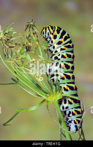 swallowtail (Papilio machaon), caterpillar on an infructescence, Germany