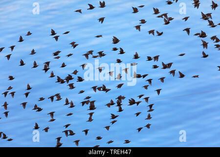 common starling (Sturnus vulgaris), flock in flight, Iceland - Stock Photo