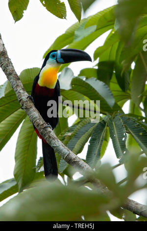 Channel-billed toucan (Ramphastos vitellinus), perched on a tree, South America - Stock Photo