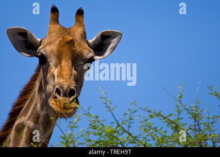 Angolan giraffe, Smoky giraffe (Giraffa camelopardalis angolensis), portrait, Namibia