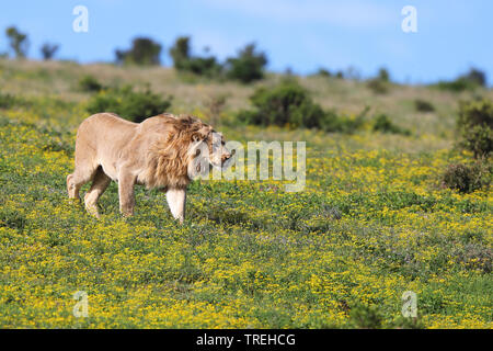 lion (Panthera leo), male walks in greenland, South Africa, Eastern Cape, Addo Elephant National Park - Stock Photo