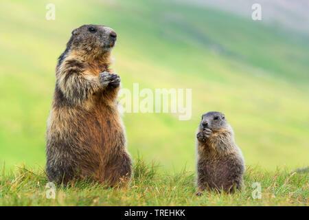 Alpenmurmeltier, Alpen-Murmeltier (Marmota marmota), Mutter mit Jungter, Oesterreich, Kaernten, Hohe Tauern Nationalpark   alpine marmot (Marmota marm - Stock Photo