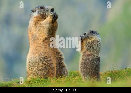 Alpenmurmeltier, Alpen-Murmeltier (Marmota marmota), Mutter mit Jungtier, Oesterreich, Kaernten, Hohe Tauern Nationalpark   alpine marmot (Marmota mar - Stock Photo