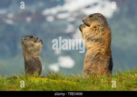 Alpenmurmeltier, Alpen-Murmeltier (Marmota marmota), Mutter mit Kind, Oesterreich, Kaernten, Hohe Tauern Nationalpark   alpine marmot (Marmota marmota - Stock Photo