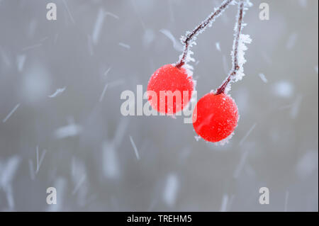 wayfaring-tree (Viburnum lantana), berries with hoar frost, Germany, Lower Saxony - Stock Photo