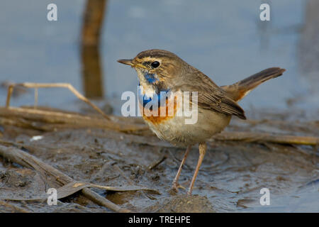 White-spotted Bluethroat (Luscinia svecica cyanecula), on the ground, Italy