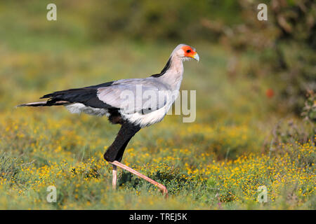 secretary bird, Sagittarius serpentarius (Sagittarius serpentarius), on the feed in savanna, South Africa, Eastern Cape, Addo Elephant National Park - Stock Photo