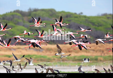 Lesser flamingo (Phoeniconaias minor, Phoenicopterus minor), flying group, South Africa - Stock Photo