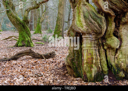 common beech (Fagus sylvatica), old common beech in the natural forest Baumweg, Germany, Lower Saxony, Emstek - Stock Photo