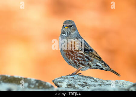 Alpine accentor (Prunella collaris), perching on a stone, side view, Italy - Stock Photo