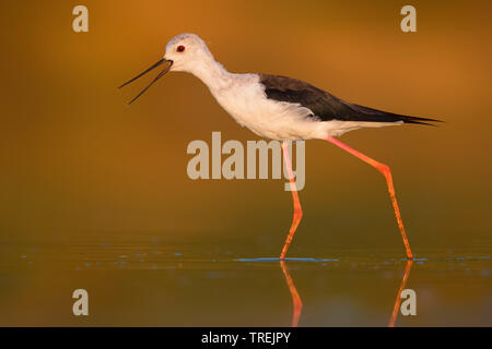 black-winged stilt (Himantopus himantopus), wading in shallow water, Italy - Stock Photo