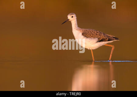 black-winged stilt (Himantopus himantopus), young bird wading in shallow water, Italy - Stock Photo