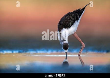 black-winged stilt (Himantopus himantopus), immature searching for food in shallow water, Italy - Stock Photo