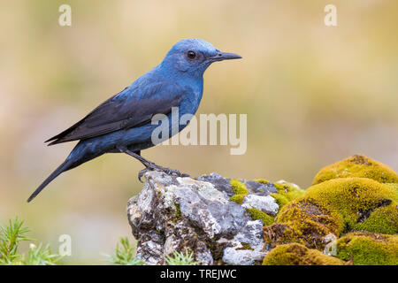 blue rock thrush (Monticola solitarius), male on a rock, Italy