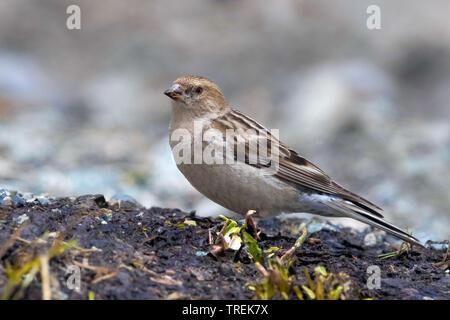 hodgson's rosy finch, Plain Mountain fink (Leucosticte nemoricola altaica), on the ground, Kazakhstan, Almaty, Ile Alatau National Park - Stock Photo