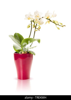 Schmetterlingsorchidee, Schmetterlings-Orchidee, Nachtfalterorchidee, Nachtfalter-Orchidee, Malaienblume, Malayenblume, Phalaenopsis-Orchidee, Phalaen - Stock Photo
