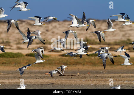 greater crested tern (Thalasseus bergii velox, Sterna bergii velox), flying flock, side view, Oman - Stock Photo