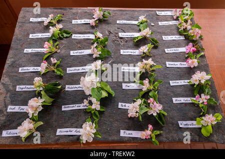 apple tree (Malus domestica), apple flowers different old cultivars, Germany - Stock Photo