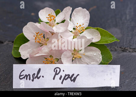 apple tree (Malus domestica 'Englischer Piper', Malus domestica Englischer Piper), apple flowers of an old cultivars with etiquette, Englischer Piper, Germany - Stock Photo