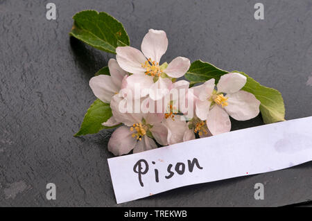 apple tree (Malus domestica 'Pison', Malus domestica Pison), apple flowers of an old cultivars with etiquette, Pison, Germany - Stock Photo