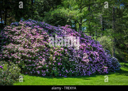 A giant rhododendron plant flowering in the spring garden. - Stock Photo