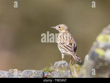 Detailed, close-up rear view of wild, British, meadow pipit bird (Anthus pratensis) isolated in natural outdoor UK grassland habitat standing in sun. - Stock Photo