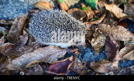 Cute Little Hedgehog searching for Food in Autumn Leaves - Stock Photo