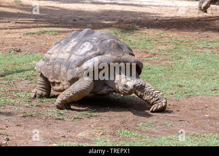 Giant turtles, dipsochelys gigantea in tropical island Mauritius , Close up - Stock Photo