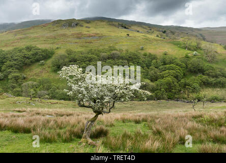 Flowering Hawthorn Tree Below the Hill of Troutbeck Tongue, Lake District, Cumbria, UK - Stock Photo