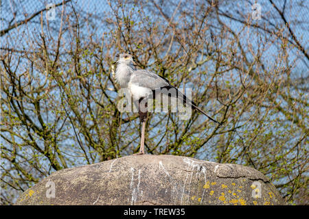 Secretarybird or secretary bird (Sagittarius serpentarius) perched on a rock in Diergaarde Blijdorp, Rotterdam Zoo, South Holland, The Netherlands. - Stock Photo