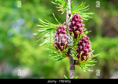 Fir tree or spruce buds. Young green sprouts fir tree needles. Young growing fir tree sprouts and cones on branch in spring forest. Spruce Pink Cone, - Stock Photo