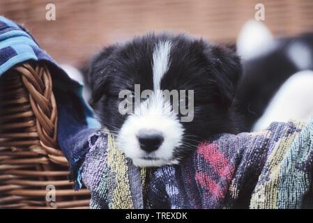 Mixed-breed dog  (Siberian Husky x ?) . Puppy lying in a basket. Germany - Stock Photo