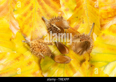 European Beech, Common Beech (Fagus sylvatica). Nut cupules and nuts on autumn leaves. Germany - Stock Photo