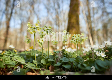 Common Cowslip (Primula veris), flowering plants on the forest floor. Germany - Stock Photo