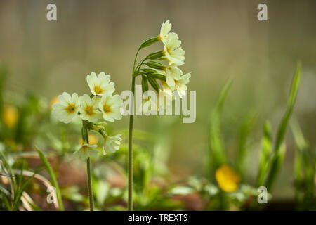 Common Cowslip (Primula veris), flowering plants. Germany - Stock Photo