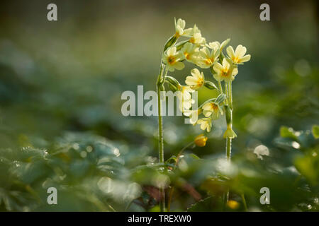 Common Cowslip (Primula veris), flowering plant in backlight. Germany - Stock Photo
